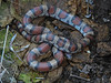 EEB Colubroidae Colubridae<br /> Lampropeltis triangulum syspila<br /> Red Milk Snake<br /> Cass County<br /> 2017<br /> Specimen #1