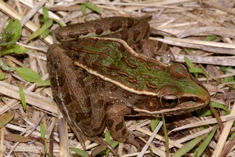 BD Ranidae<br /> Rana sphenocephala sphenocephala<br /> Southern Leopard Frog<br /> Montgomery County