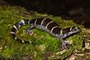 AB Ambystomatidae<br /> Ambystoma annulatum<br /> Ringed Salamander<br /> St. Louis County<br /> 2019