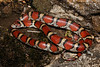EEB Colubroidae Colubridae<br /> Lampropeltis triangulum syspila<br /> Red Milk Snake<br /> Cass County<br /> 2017<br /> Specimen #2