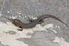 DCG Scincomorpha Xantusiidae<br /> Xantusia vigilis<br /> Desert Night Lizard<br /> Clark County<br /> 2015<br /> Specimen #1