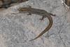 DCG Scincomorpha Xantusiidae<br /> Xantusia vigilis<br /> Desert Night Lizard<br /> Clark County<br /> 2015<br /> Specimen #2