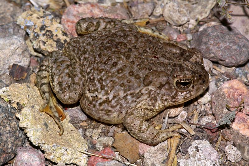 BA Bufonidae<br /> Anaxyrus microscaphus <br /> Arizona Toad<br /> Lincoln County