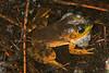 BD Ranidae<br /> Lithobates catesbeiana <br /> American Bullfrog<br /> 2016