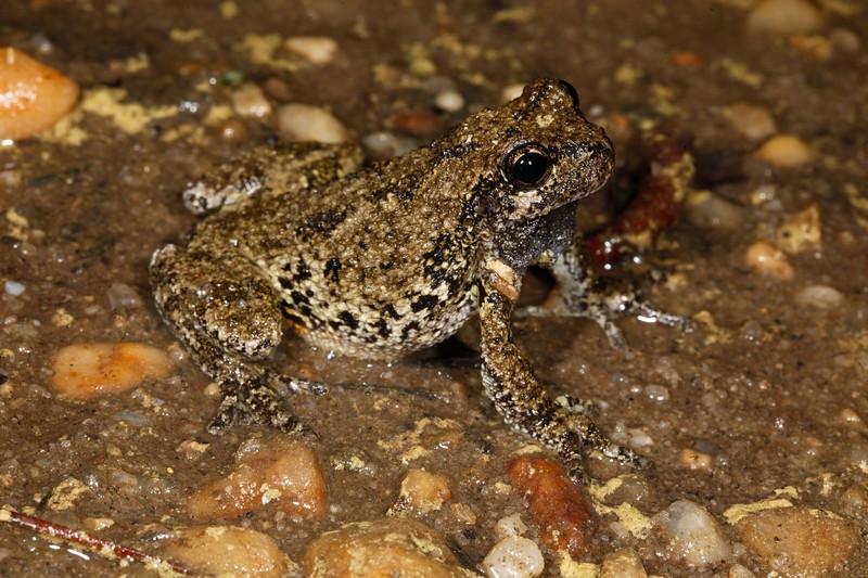 BC Hylidae Hylinae<br /> Hyla versicolor<br /> Gray Treefrog<br /> 2016
