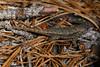 DA Iguania Iguanidae Phrynosomatidae<br /> Sceloporus undulatus hyacinthinus<br /> Northern Fence Lizard<br /> 2016