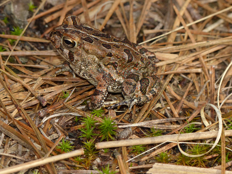 BA Bufonidae<br /> Anaxyrus fowleri<br /> Fowler's Toad<br /> 2016
