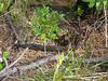 EL Colubroidea Viperidae Crotalinae<br /> Crotalus horridus<br /> Timber Rattlesnake<br /> 2016<br /> Specimen #1