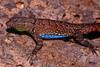 DA Iguania Iguanidae Phrynosomatidae<br /> Urosaurus ornatus schotti<br /> Schott's Tree Lizard<br /> Hidalgo County