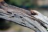 DA Iguania Iguanidae Phrynosomatidae<br /> Sceloporus virgatus<br /> Striped Plateau Lizard<br /> Hildago County