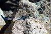 DA Iguania Iguanidae Phrynosomatidae<br /> Sceloporus jarrovii jarrovii<br /> Jarrow's Spiny Lizard<br /> Hildago County