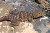 DA Iguania Iguanidae Crotaphydidae<br /> Crotaphytus collaris <br /> Eastern Collared Lizard<br /> Hidalgo County