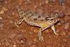 DA Iguania Iguanidae Phrynosomatidae<br /> Phrynosoma cornutum<br /> Texas Horned Lizard<br /> Hidalgo County