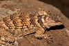 DA Iguania Iguanidae Phrynosomatidae<br /> Sceloporus poinsetti poinsetti<br /> New Mexico Crevice Spiny Lizard<br /> Hidalgo County
