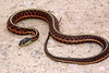 EG Colubroidea Natricidae<br /> Thamnophis sirtalis parietalis<br /> Red-sided Garter Snake<br /> Osage County