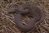 EG Colubroidea Natricidae<br /> Nerodia erythrogaster transversa<br /> Blotched Water Snake<br /> Osage County