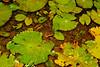 BA Bufonidae<br /> Rhinella horribilis<br /> Giant Toad<br /> El Valle<br /> 2016
