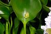 BCA Centrolenidae Hyalinobatrachinae<br /> Hyalinobatrachium fleischmanni<br /> Fleischmann's Glassfrog<br /> El Valle<br /> 2016