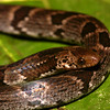 EEF Colubroidea Dipsadidae<br /> Atractus major<br /> Earth Snake<br /> Madre Selva