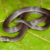 EEF Colubroidea Dipsadidae<br /> Atractus collaris<br /> Collared Ground Snake <br /> Madre Selva