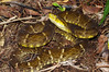 EL Colubroidea Viperidae Crotalinae<br /> Bothrops atrox<br /> South American Fer-de-Lance<br /> Madre Selva<br /> 2012