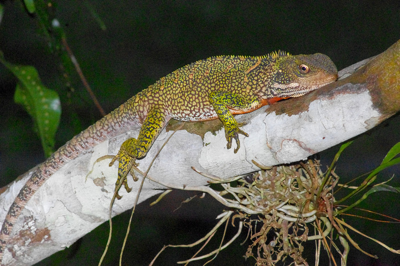 DA Iguania Iguanidae Hoplocercidae<br /> Enyalioides laticeps<br /> Amazon Forest Dragon<br /> Madre Selva<br /> 2012