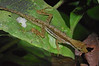 DA Iguania Iguanidae Dactyloidae<br /> Anolis trachyderma<br /> Common Forest Anole<br /> Madre Selva<br /> 2012