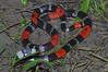 EI Colubroidea Elapidae Elapinae<br /> Micrurus lemniscatus<br /> Ribbon Coral Snake<br /> Santa Cruz<br /> 2012