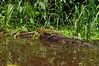 DCD Scincomorpha Teiidae<br /> Dracaena quixensis<br /> Northern Caiman Lizard<br /> Madre Selva<br /> 2012
