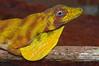 DA Iguania Iguanidae Dactyloidae<br /> Anolis transversalis<br /> Banded Tree Anole<br /> Santa Cruz<br /> 2012
