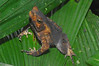 BA Bufonidae<br /> Rhinella dapsilis<br /> Sharp Nosed Toad<br /> Madre Selva<br /> 2012