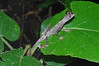 DA Iguania Iguanidae Dactyloidae<br /> Anolis tandai<br /> Tandai's Anole<br /> Madre Selva<br /> 2012