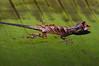 DA Iguania Iguanidae Dactyloidae<br /> Anolis bombiceps<br /> Blue Lipped Forest Anole<br /> Santa Cruz<br /> 2012