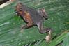 BA Bufonidae<br /> Rhinella dapsilis<br /> Sharp Nosed Toad<br /> Madre Selva<br /> 2012