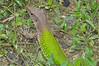 DCD Scincomorpha Teiidae<br /> Ameiva ameiva<br /> Amazon Whiptail<br /> Iquitos<br /> 2012
