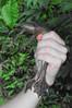 BAA Pipidae<br /> Pipa pipa<br /> Suriname Toad<br /> Madre Selva<br /> 2012