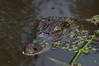 C Crocodylia Eusuchia Alligatoridae<br /> Caiman crocodilus<br /> Spectacled caiman<br /> Madre Selva / Rio Orosa<br /> 2012