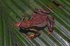 BA Bufonidae<br /> Atelopus spumarius<br /> Amazon Harlequin Toad<br /> Madre Selva<br /> 2012