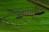 DA Iguania Iguanidae Dactyloidae<br /> Anolis punctatus<br /> Amazon Green Anole<br /> Madre Selva<br /> 2012