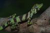 DA Iguania Iguanidae Dactyloidae<br /> Anolis transversalis<br /> Banded Tree Anole<br /> Madre Selva<br /> 2012