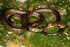 EEB Colubroidae Colubridae<br /> Chironius fuscus<br /> Olive Whipsnake<br /> Speciman #2<br /> Madre Selva<br /> 2013