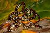 EEF Colubroidea Dipsadidae<br /> Siphlophus cervinus<br /> Common Liana Snake<br /> Madre Selva<br /> 2013