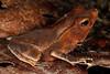 BA Bufonidae<br /> Rhinella margaritifera<br /> Crested Forest Toad<br /> Santa Cruz<br /> 2013