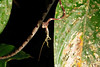 EEF Colubroidea Dipsadidae<br /> Imantodes cenchoa<br /> Common Blunt Headed Tree Snake<br /> eating Anolis trachyderma<br /> Madre Selva<br /> Photo #2<br /> 2013