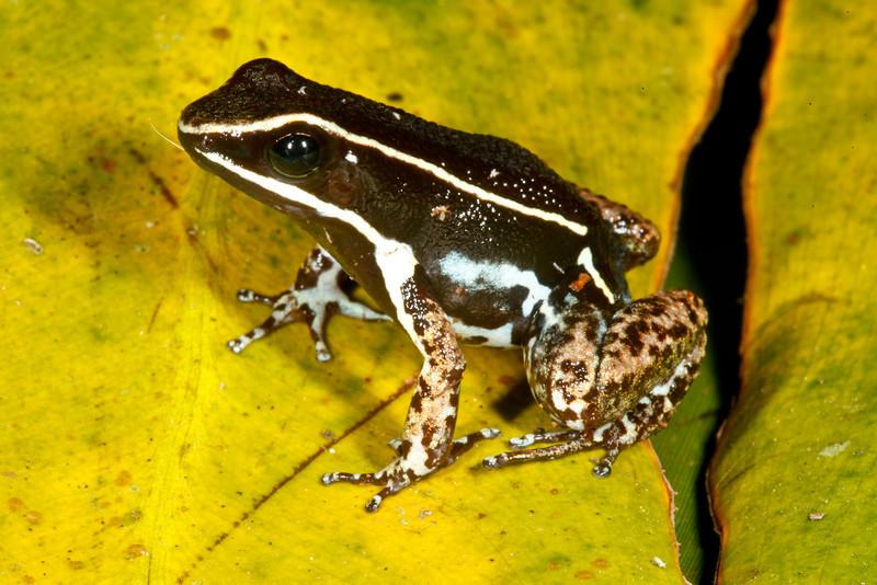 BE Dendrobatidae<br /> Allobates femoralis<br /> Spotted Thighed Poison Frog<br /> Madre Selva<br /> 2013