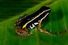 BE Dendrobatidae Colostethinae<br /> Ameerega hahneli<br /> Pale Striped Poison Frog<br /> Santa Cruz<br /> 2013