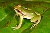 BG Strabomantidae Strabomantinae <br /> Pristimantis acuminatus<br /> Green Rain Frog<br /> Madre Selva<br /> 2013