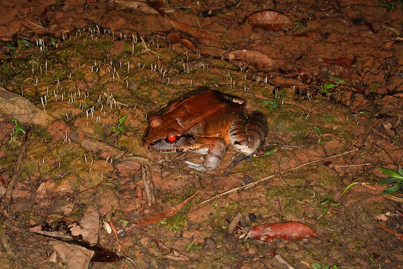 BG Leptodactylidae<br /> Leptodactylus pentadactylus<br /> Smoky Jungle Frog<br /> Santa Cruz<br /> 2013