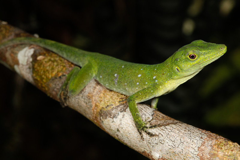DA Iguania Iguanidae Dactyloidae<br /> Anolis punctatus<br /> Amazon Green Anole<br /> Madre Selva<br /> 2013