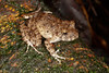 BG Strabomantidae Strabomantinae<br /> Oreobates quixensis<br /> Common Big Headed Rain Frog<br /> Santa Cruz<br /> 2013